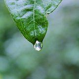 daun-hujan